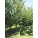 Green King Hybrid Elm