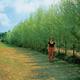 Stark Hybrid Willow