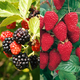 Stark Primocane Berry Patch Assortment