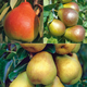 DiseaseResistant Pear Tree Collection