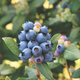 Bushel and Berry Perpetua Blueberry