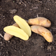 Russian Banana Fingerling Seed Potato