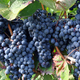 Norton Grape