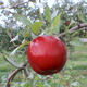 Stark Red Romance Apple