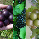 Muscadine Grape Vine Collection