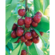 Benton Sweet Cherry