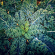 Blue Curled Scotch Kale Seed
