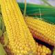 Buhl Sweet Corn Seed