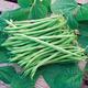 Calima Bean Seed