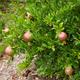 Dwarf Red Pomegranate