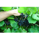 Noble Muscadine Grape
