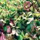 Rocky Top Lettuce Mix Seed