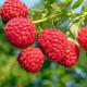 Amity Red Raspberry