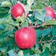 Cameron Select Honeycrisp Apple