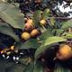 Franklin Cider Apple