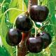 BlackPearl Sweet Cherry