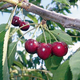 EbonyPearl Sweet Cherry