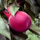 Earlystar Peach