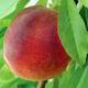 Flamin Fury (PF 28007) Peach