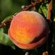 Flamin Fury (PF 7A Freestone) Peach