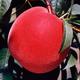 Starfire Peach