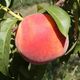 Sweetstar Peach