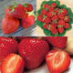 Stark Strawberry Plant Collection