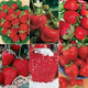 Fave Raves Strawberry Plant Collection