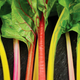 Five Color Silverbeet Swiss Chard Seed