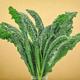 Nero Di Toscana Cabbage Seed