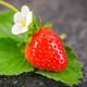 Tresca Garden Strawberry Seed