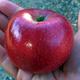 Williams Pride Apple