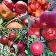 Organic Farmers Market Apple Tree Collection