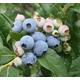 Razz Blueberry