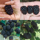 Farmers Market Blackberry Patch Collection