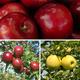Organic Pie Apple Tree Collection