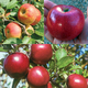 Organic WarmWeather Apple Tree Collection