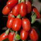 Big Lifeberry Goji Berry Plant Collection