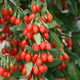 Sweet Lifeberry Goji Berry Plant Collection