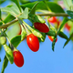 Vermilion Sunset Goji Berry Plant Collection
