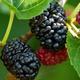 Dwarf Everbearing Mulberry