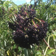 Ranch Elderberry