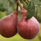 Red Clapps Pear