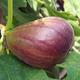 Texas Everbearing Fig