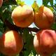 Julyprince Peach