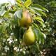 Shenandoah Pear