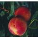 Autumnstar Peach