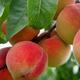 Blazingstar Peach