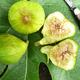 Lattarula Fig