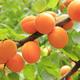 Hungarian Rose Apricot